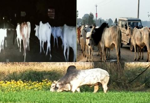 योगी सरकार के दावे हवाई निराश्रित पशुओं से किसान बेहाल, रतजगा के बावजूद फसल बचाना मुश्किल!